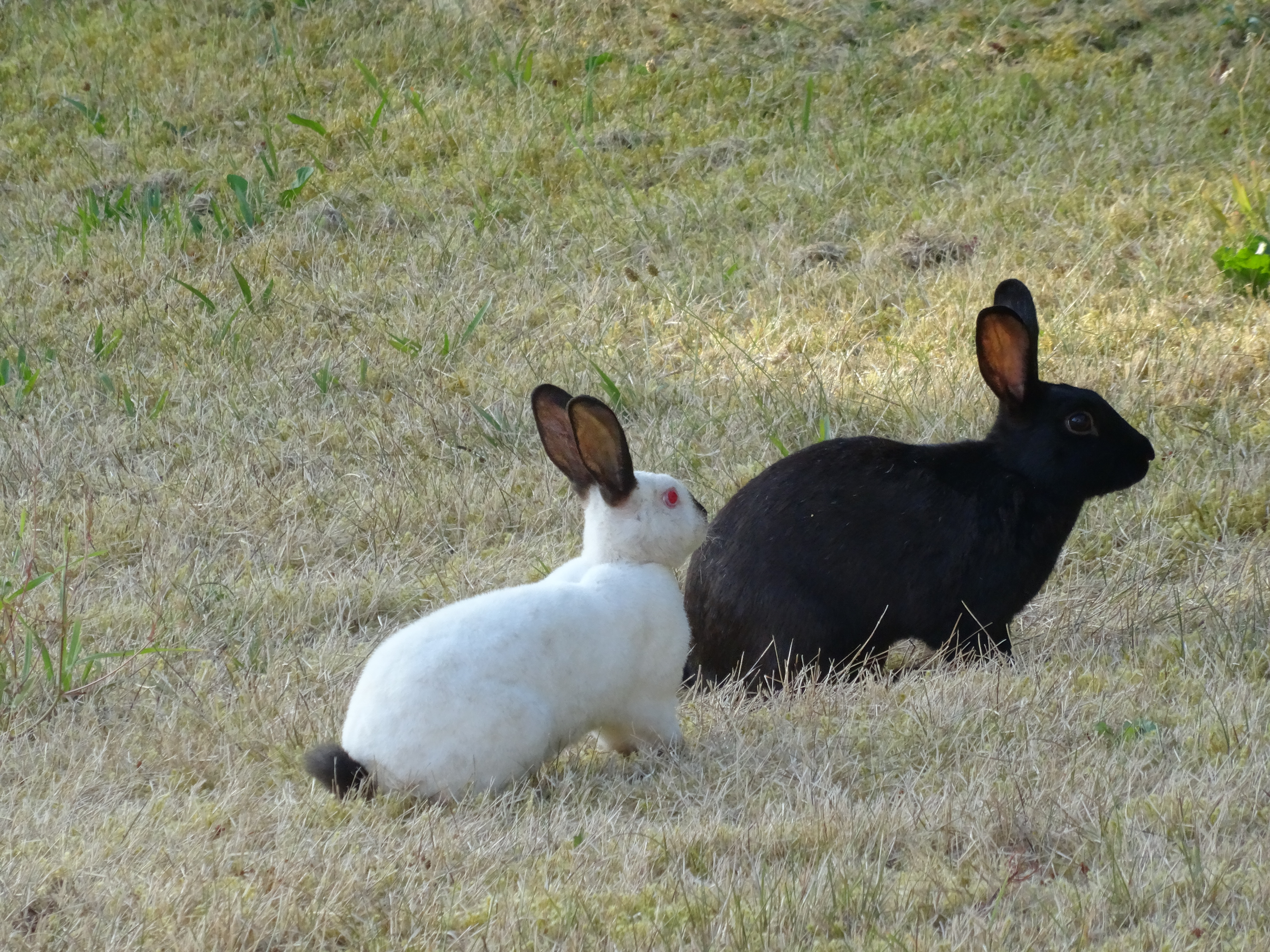 feral rabbits