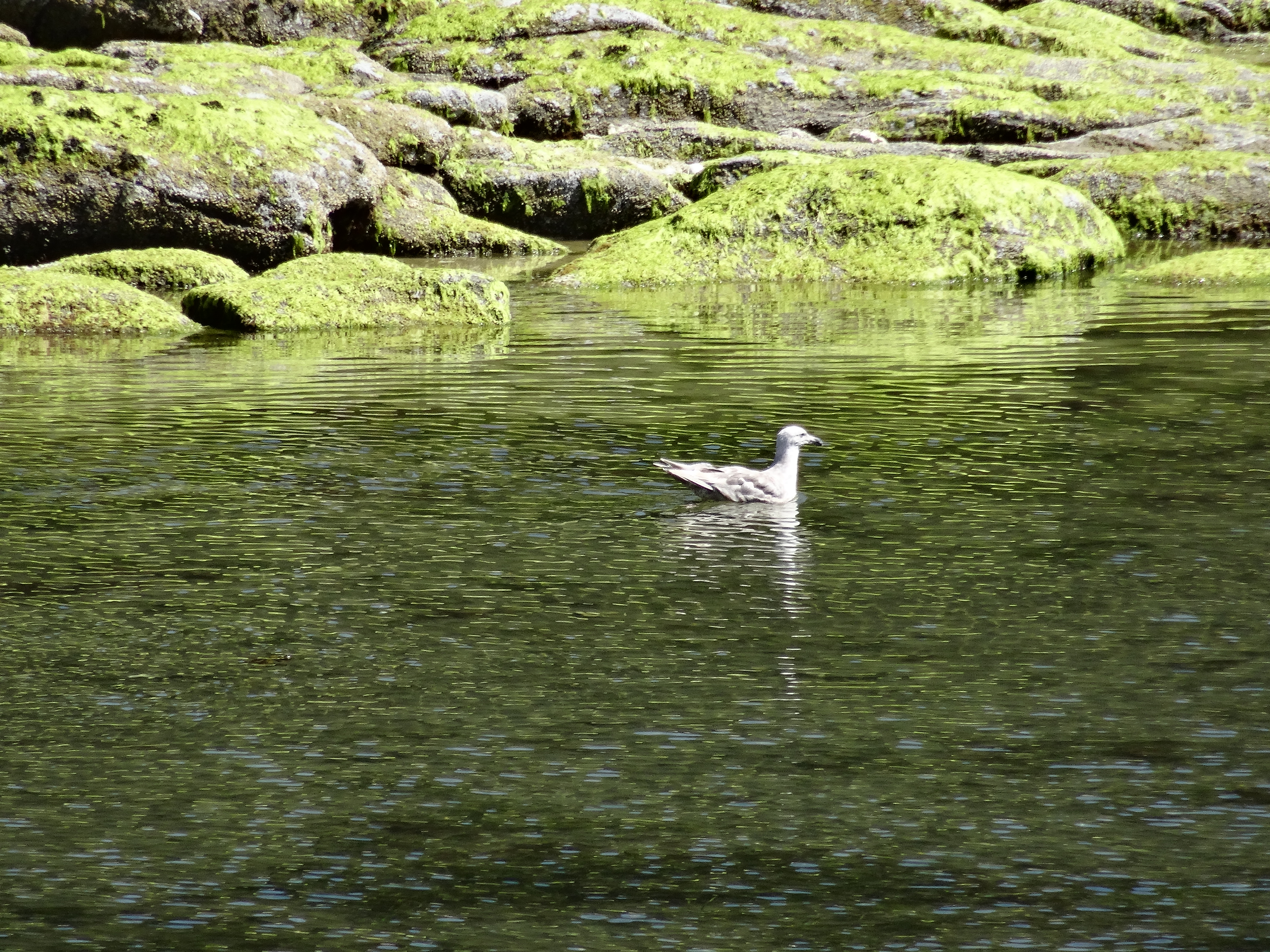 seagull on green water